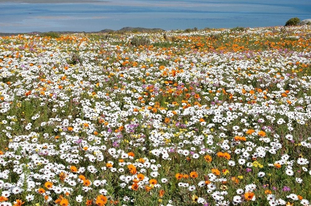 West Coast National Park opens Postberg for flower viewing