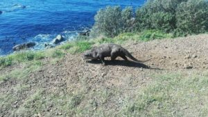 Rare sighting of Cape clawless otter near Simon's Town