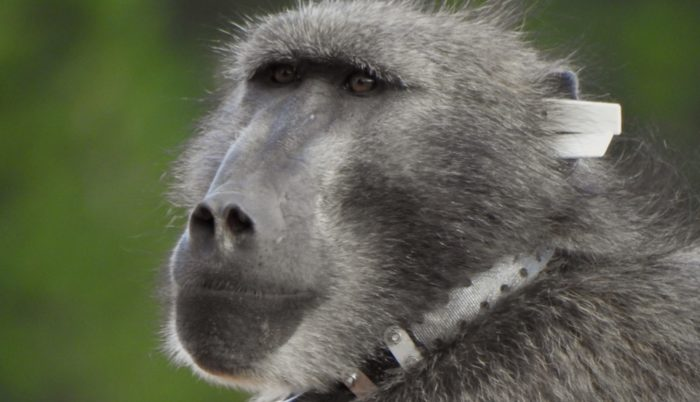 Kommetjie residents start campaign to bring back Kataza the baboon