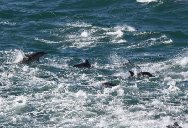 Huge pod of dolphins visit Fish Hoek