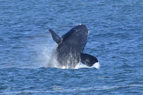 Mira the whale spotted after three years