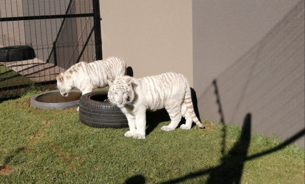 SPCA aims to removed white tiger cubs from residential property