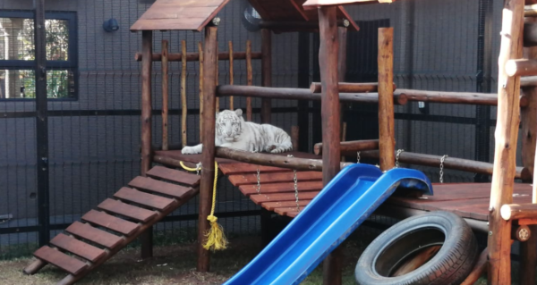 SPCA takes white tiger cubs from residential property