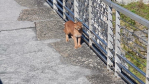 Hermes the caracal takes leisurely stroll past hikers