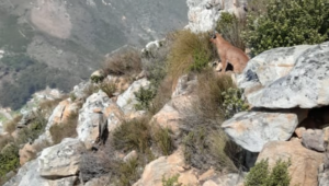 How many times has Cape Town seen its favorite caracal?