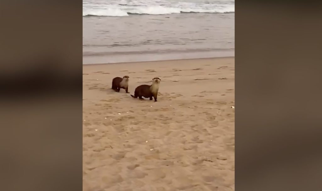 Cape clawless otters spotted on beach in Plett