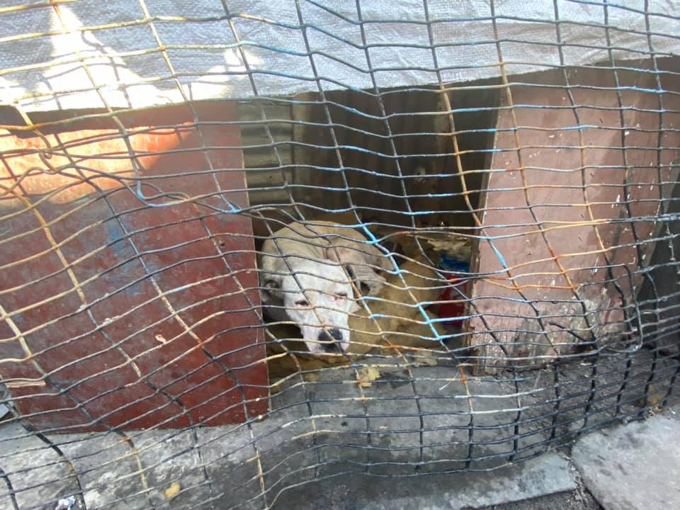 SPCA rescues Manenberg dogs from fighting ring