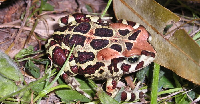Western leopard toad migration begins in Cape: How to help