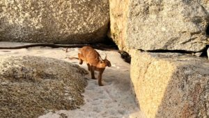 Caracal spotted on Clifton 1st Beach