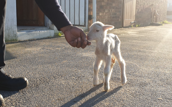 Little lamb and SPCA worker form loving bond