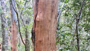Bark stripping increasing in Newlands Forest