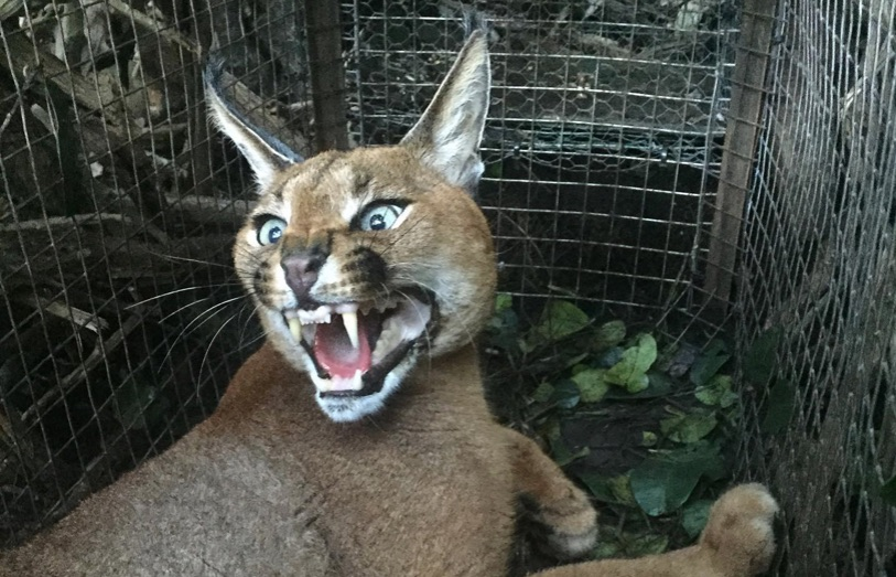 Rat poison use is affecting caracals