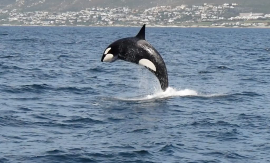 Orca puts on a spectacular show in False Bay