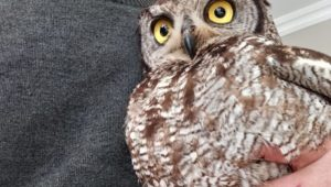 St Helena Bay sanctuary protects declining owl populations