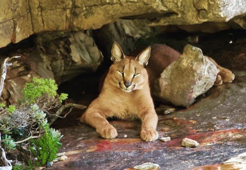 Unidentified caracal spotted near 12 Apostles