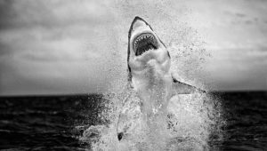 Cape Town photographer wins international prize for 'flying shark' image
