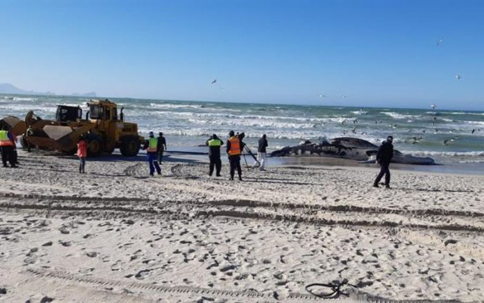 More whales could wash up on Cape's shores