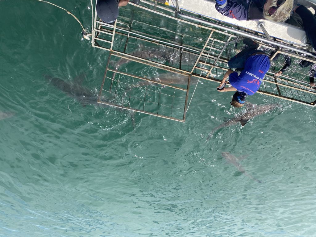 Redefining misconceptions: Shark cage diving in Gansbaai