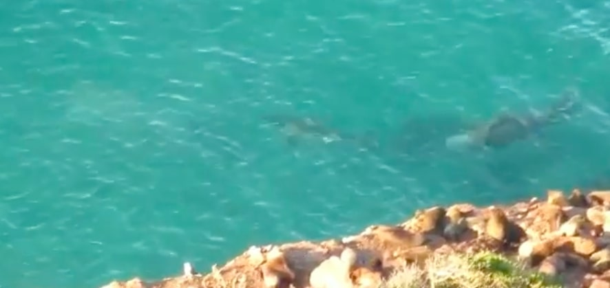 Elephant seal chases great white in Robberg Beach waters