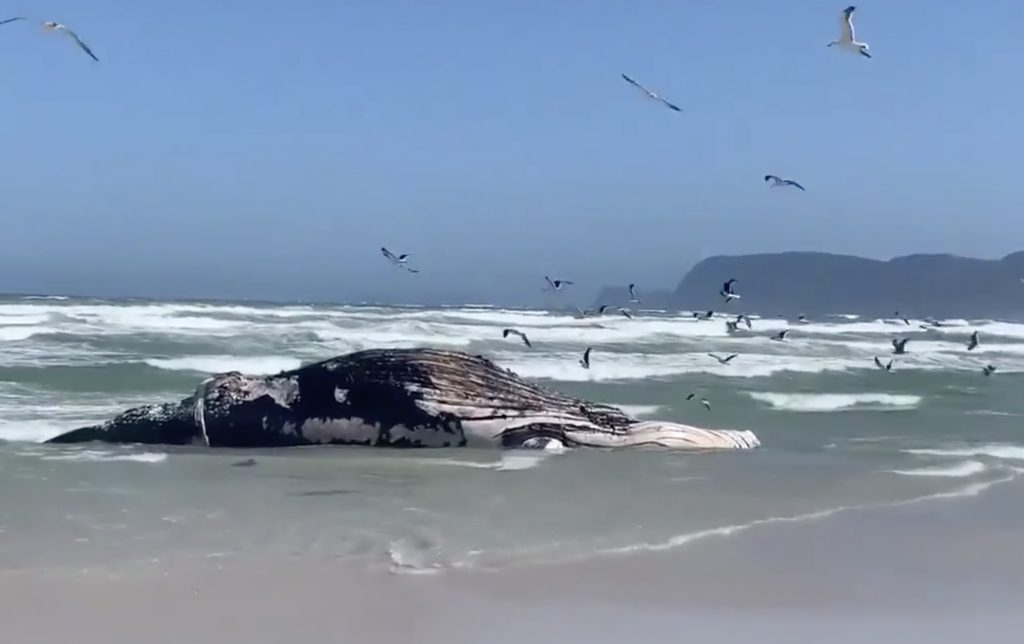 Whale carcass washes up on Strandfontein beach