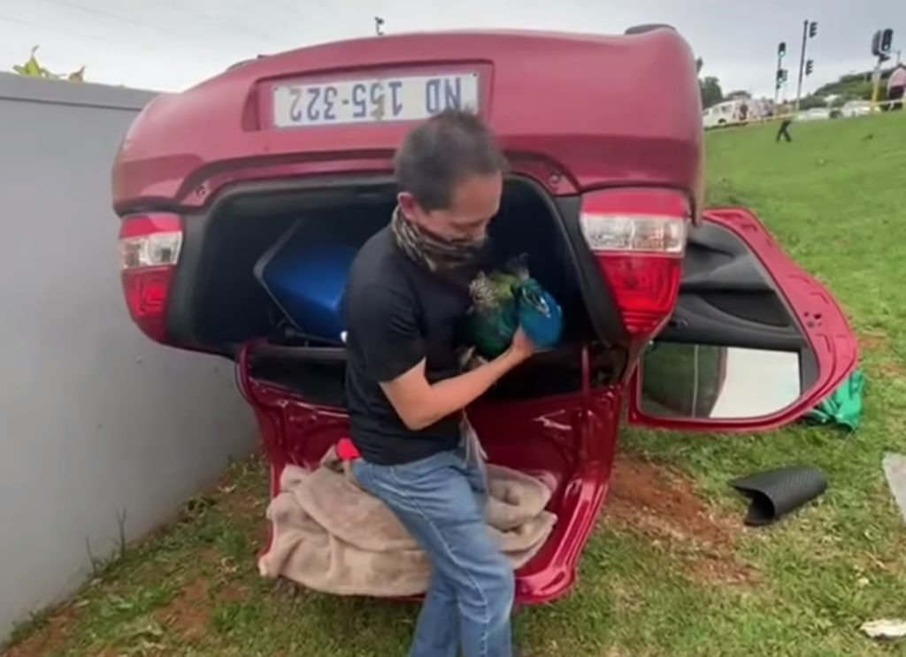 Peacock discovered in car after chase in Umhlanga