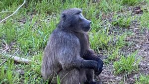 Cape SPCA proposes Kataza the baboon be relocated to Limpopo