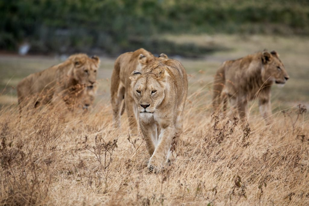 SANparks says pride of lions put down posed a severe threat