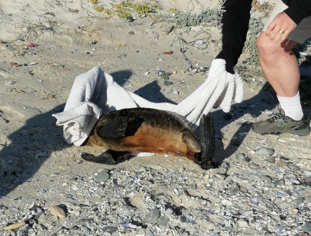 Concern raised over dead or injured seal pups spotted on Cape beaches