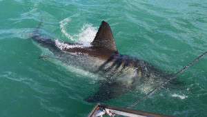 First Great White Shark spotted in Gansbaai since lockdown
