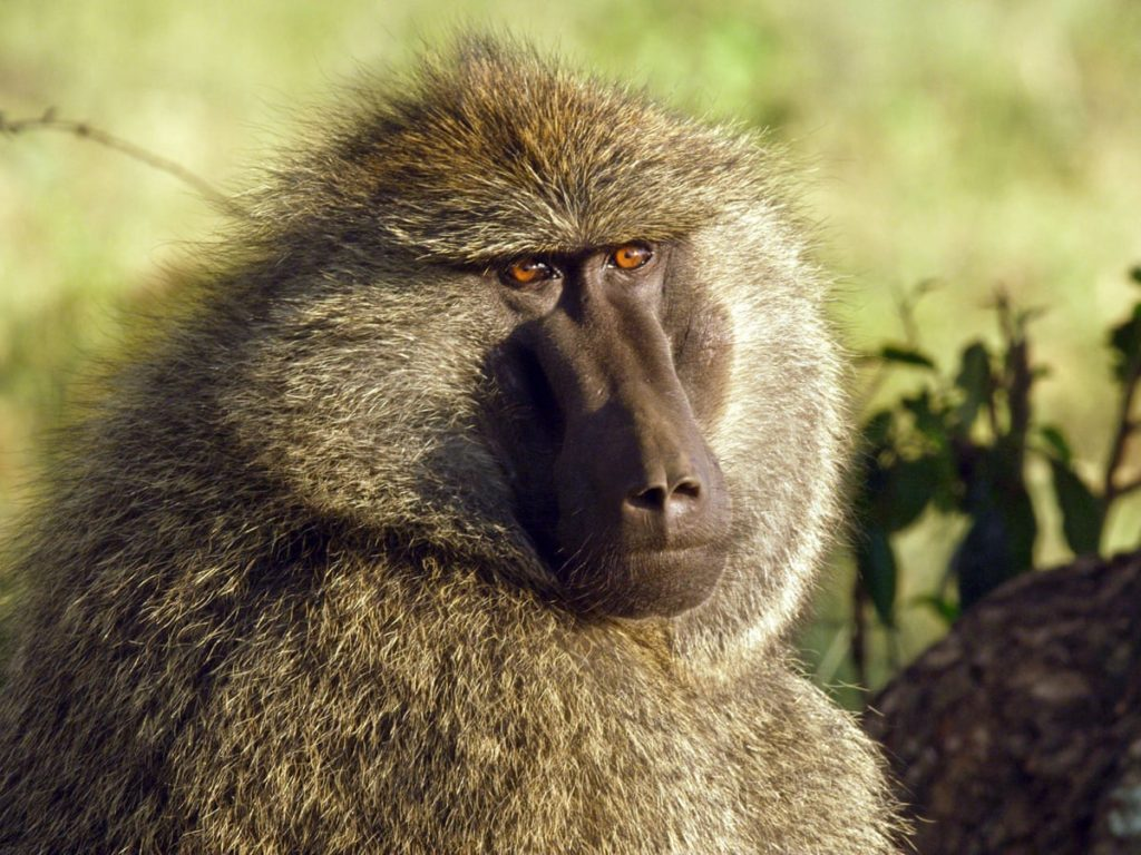 Threats, intimidation of officials involved in Urban Baboon Programme