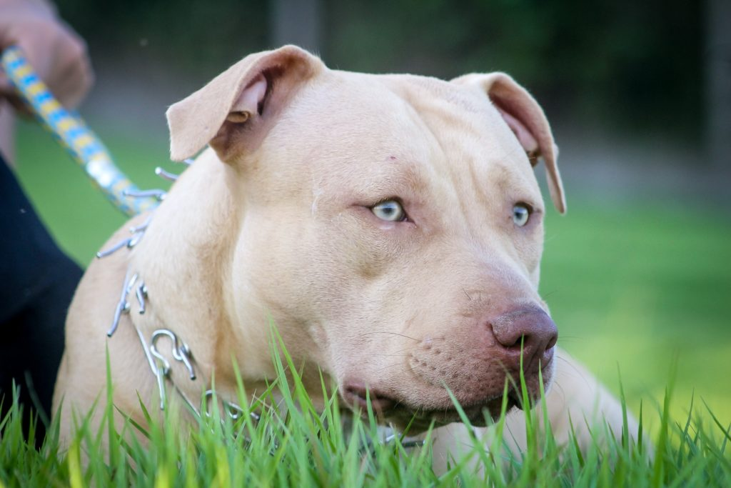 Pit Pals Rescue is full, appeals to public to adopt