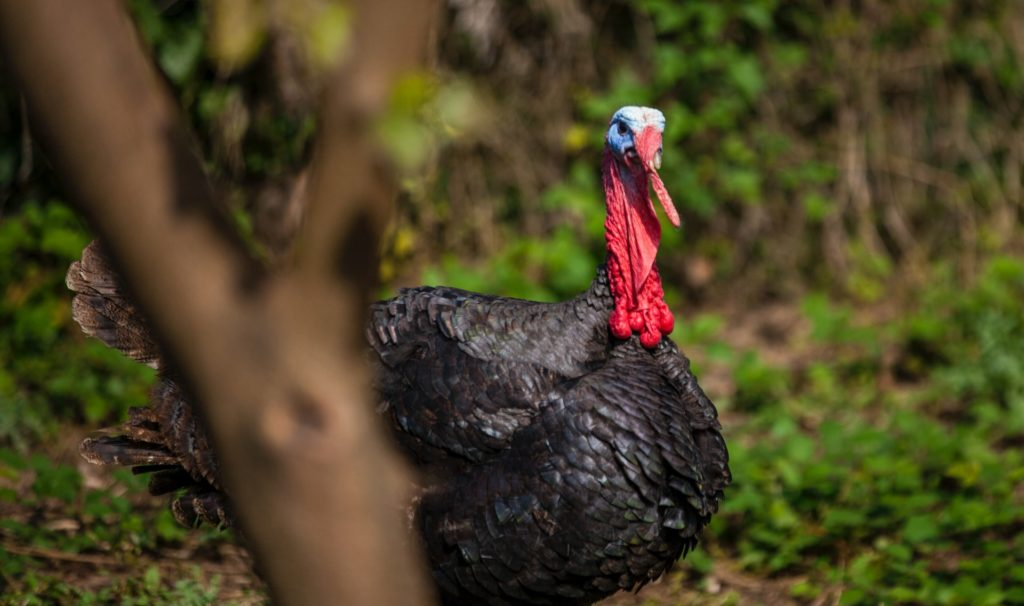 More than 10,000 turkeys to be killed due to bird flu