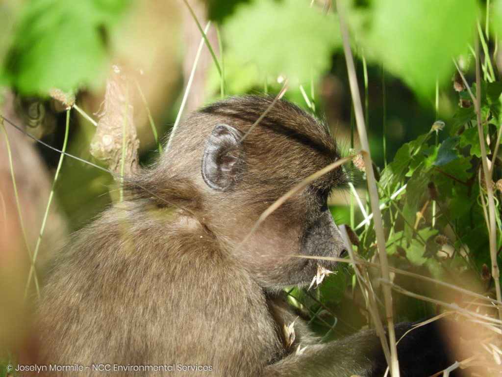 Juvenile baboon rescued from snare in Constantia mountains