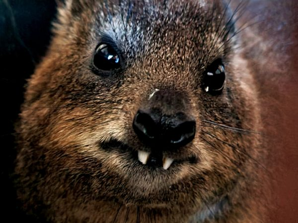 Curious Rock Hyrax finds its way into Cape Town home