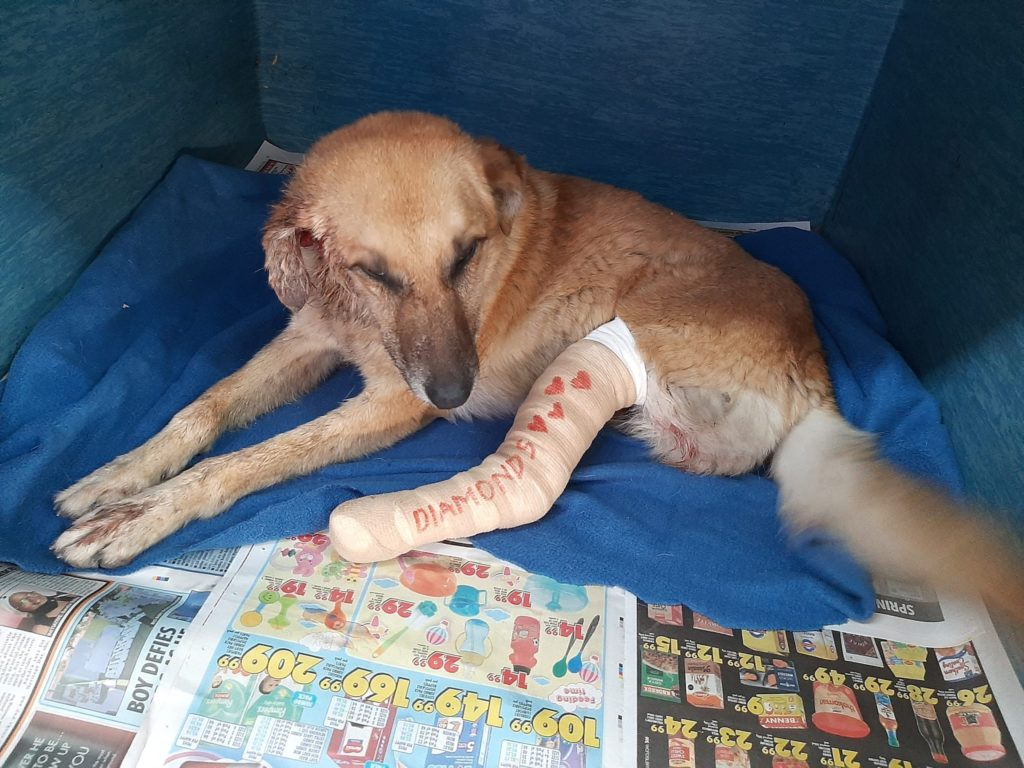 SPCA rescues three-legged dog used for fighting bait