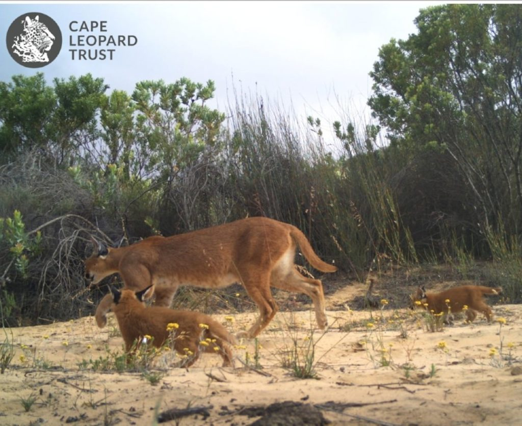 Family of caracals spotted in Piketberg