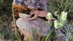 Cape Town's favourite caracal spotted by SANParks biologist