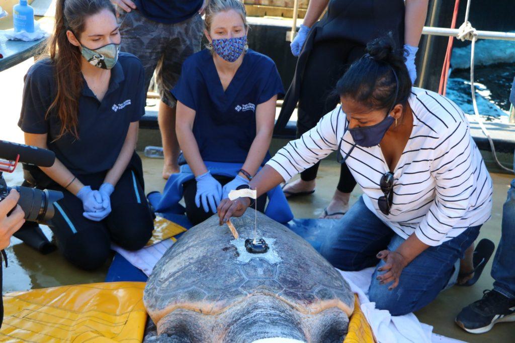 Two Oceans Aquarium release 23 sea turtles back into ocean