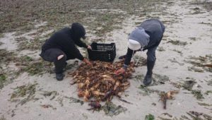 Crayfish run out of the sea at Elands Bay due to red tide