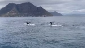 While the humans are away, the humpbacks will play