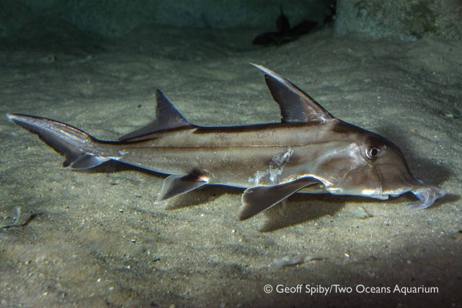 Have you seen these sharks in Cape waters?