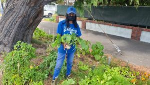 Verge gardens feed the community