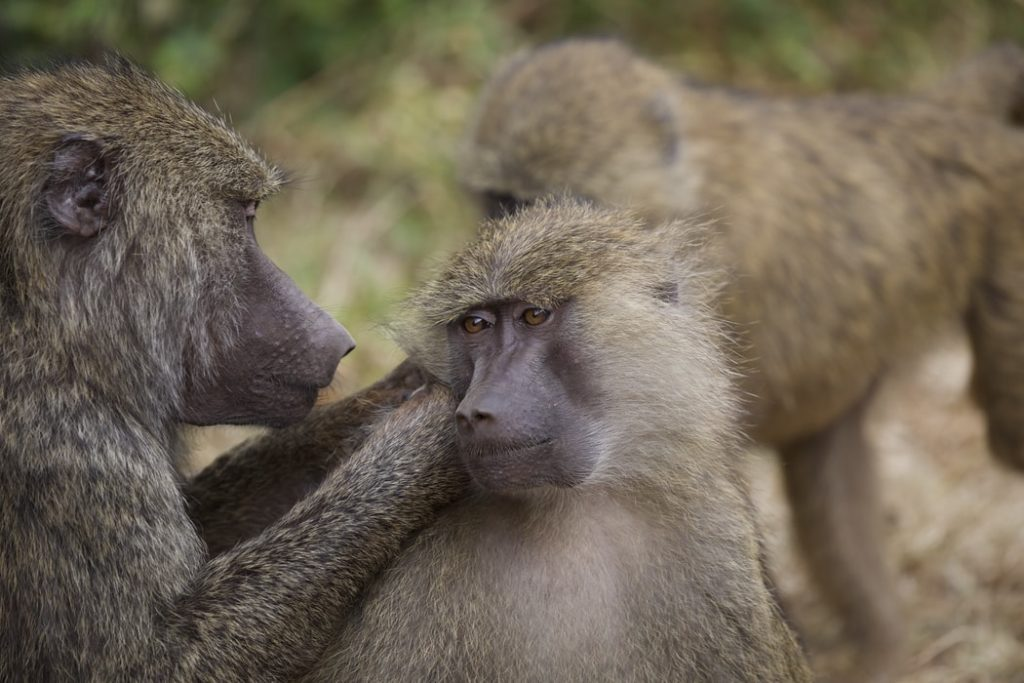 Dog owners urged to be careful around baboons in Tokai