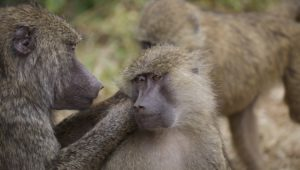 Baboon killed with pellet gun