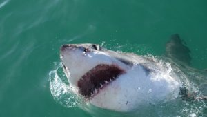 Gansbaai's favourite Great white shark, Mini Nemo, fitted with an acoustic tag
