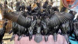 "Abandoned Cape Cormorant chicks are ""growing beautifully"", says SANCCOB"