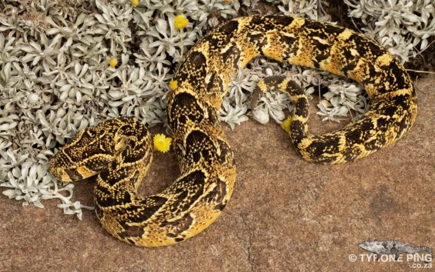 Here are the Cape's most venomous snakes, and what to do when you see one