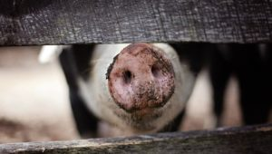 Ban on pig sales in Mfuleni after an outbreak of African Swine Fever