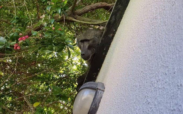 Roaming baboon returned to natal Tokai troop