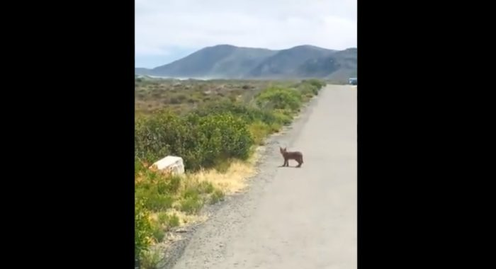 Caracal kitten spotted crossing the road at Cape Point